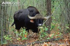 Wildlife Of India, Fawn Colour, Large Animals, Cows, Cattle, Cambodia, Mammals, Elephant, Creatures