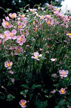 RHS Plant Selector Anemone × hybrida 'September Charm' AGM / RHS Gardening