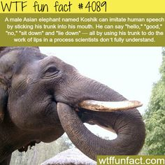Asian elephant learned how to speak – WTF fun facts Asiatischer Elefant lernte sprechen – WTF Fun Facts Wtf Fun Facts, True Facts, Funny Facts, Random Facts, Random Things, Random Stuff, The More You Know, Good To Know, Did You Know