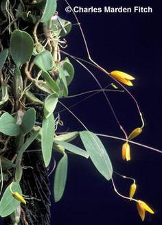Image of Bulbophyllum pardolatum