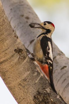 Syrian Woodpecker, Dendroco-pos syriacus, very similar to the great spotted woodpecker: SE Europe E to Iran - Wikipedia