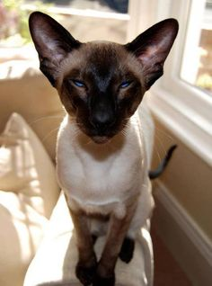 Excellent Pictures siamese cats lilac Thoughts Siamese kitties work best known for their smooth, wind resistant our bodies, creamy apparel plus exclusive ma Siamese Kittens, Kittens Cutest, Cats And Kittens, I Love Cats, Crazy Cats, Cute Cats, Pretty Cats, Beautiful Cats, Oriental Shorthair Cats