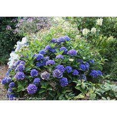 Cityline Venice Bigleaf Hydrangea (Macrophylla) Live Shrub, Pink, Blue and Green Flowers, 4.5 in. Qt.