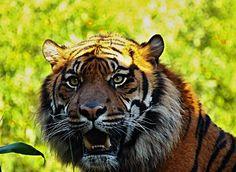 Categorie: Dieren foto's Sumatraanse tijger  Prijs per kaart vanaf: € 2,65 excl. porto Wenskaart is geheel naar eigen wens aan te passen, tekst, figuur of foto. www.wenskaartenshop.droomcreaties.nl