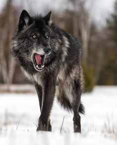 Lone Black Wolf by © cjm_photography
