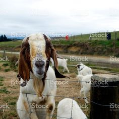 A Boer Goats comes to look at the camera. Boer Goats, Close Up Photos, Goat Milk, Image Now, Cow, Royalty Free Stock Photos, That Look, African, Portraits