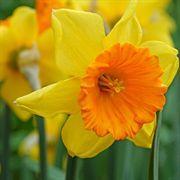 Love Day Daffodil