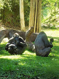 Página 6A - Família de gorilas Foto Suziane Fonseca 29 (9)