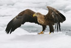 That's The Right Direction - This beautiful White-tailed Eagle (Haliaeetus albicilla) is pointing me in the right direction on the drifting in Nemuro Strait ice a few miles Northeast of Rausu on Hokkaido, Japan.  Regards and have a nice day,  Harry