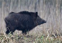 Wildschwein-wild_boar-Keiler.jpg (1100×780)