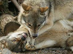 Wolf's fighting