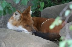 A Dhole, or Asiatic Wild Dog