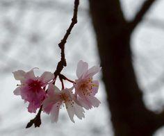 Rare Cherry blossom during winter in asakusa