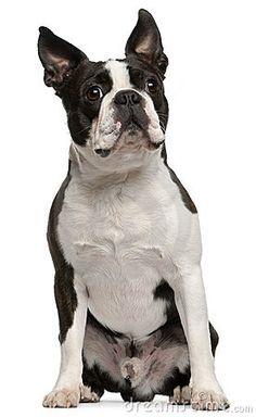 boston terrier.