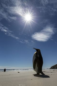 King Penguin - Falkland Islands Working on his tan at the beach.