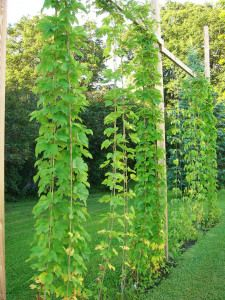 Growing your own hops is fun and brings out the inner gardener in all of us. Growing your own hops also saves on ingredient costs in the long run, and helps bring the brewer that much closer to the...