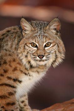 """magicalnaturetour: """" Utah bobcat. Photo by Lynn Chamberlain, Utah Division of Wildlife Resources. """""""