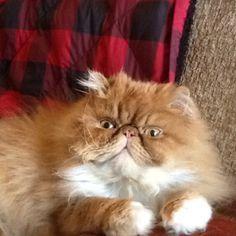 Persian cat... Seamu