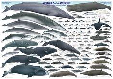 'Whales of the World' poster by Uko Gorter Natural History Illustrations