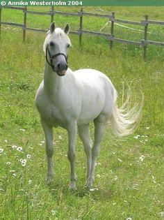 Anglo-Arabian gelding Asil