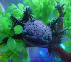 The place for anything axolotl! Axolotl Pet, Axolotl Care, Cute Reptiles, Reptiles And Amphibians, Baby Animals, Cute Animals, Beautiful Fish, Cutest Thing Ever, Animal Wallpaper