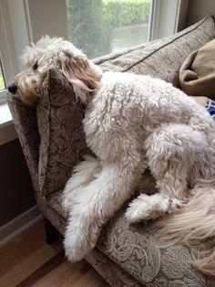 Jack the Goldendoodle trying to get comfy.  theinspireddogblog.com #goldendoodle #pets