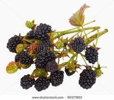 blackberry branch by Alekcey, via ShutterStock