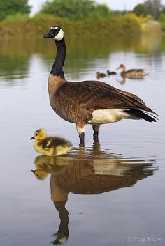 Canadian goose and her gosling