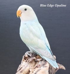 Turquoise edged dilute opaline peach faced lovebird- so pretty!
