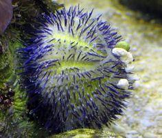 Tuxedo Sea Urchin