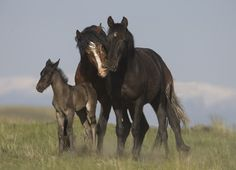 Wild Stallion, his mare and colt