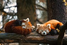 Red panda nap time