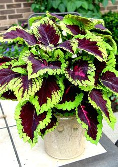 Container Plants, Container Gardening, Coleus Care, Snake Plant Care, Front Yard Garden Design, Different Kinds Of Flowers, Indoor Flowering Plants, Patio Planters, Garden Projects