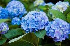 Also known as the large leaf/mop hydrangeas, flower on old growth and should not be pruned until new growth emerges on the stems in spring.
