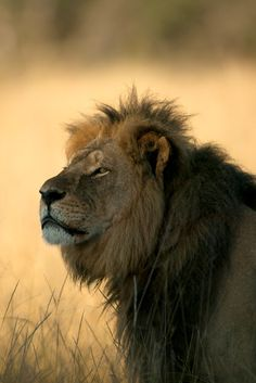 """THIS IS CECIL THE LION, viciously murdered by criminal trophy hunter Walter Palmer who shot him, left him to slowly die for 40 hours, skinned & decapitated him. SIGN & SHARE PETITION """"FAST-TRACK AFRICAN LIONS AS ENDANGERED"""" https://secure.avaaz.org/en/us_list_endangered_african_lions/"""