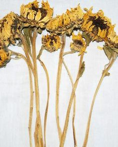 Dried Sunflowers Bunch, old-time favorite. How can you not love them!