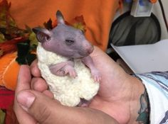 Silky the hairless hamster gets made her own tiny jumper to stay warm