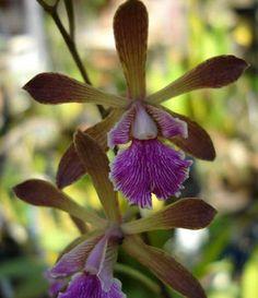 encyclia ramonense | common name caximbo hill encyclia native to brazil encyclia ...