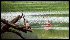 Flamingo de Camuy | Flickr - Photo Sharing!