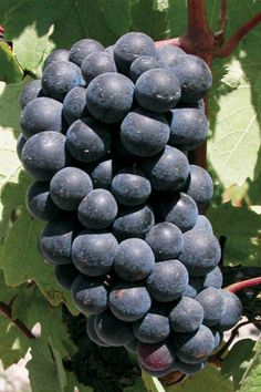 Gamay - Legend has it that it was brought over by the Romans in the first century BC to the town of Beaujeu, near Beaune, in the Burgundy region of France. In the mid 1300s it was cultivated as a relief from the strains of the Black Death. http://www.snooth.com
