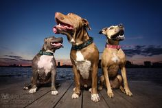 Pit Bulls at Sunset by Kaylee Greer on 500px