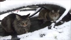 Titran's cats in the snow - 11 December 2017 Cattery, December, Snow, Cats, Animals, Gatos, Animaux, Animales, Cat