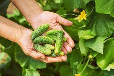 Kefir, Pesto, Pickles, Cucumber, Banana, Gardening, Fruit, Android, News