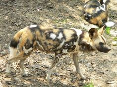 The African wild dog - population 3000-5000 [EN]. Also known as painted hunting dog, The AWD has a colorful, patchy coat, large bat-like ears and a bushy tail with a white tip that may serve as a flag to keep the pack in contact while hunting. It has a bite force quotient (BFQ, the strength of bite relative to the animal's mass) measured at 142, the highest of any extant mammal of the order Carnivora, although exceeded by the Tasmanian devil. The 2nd largest existing African carnivore.