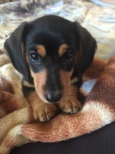 Winnie the Miniature dachshund