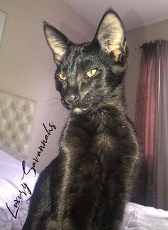 F2 melanistic Savannah kitten black panther savannah Serval Kittens For Sale, Kitten For Sale, Savannah Kittens For Sale, Savannah Chat, Black Panther, Las Vegas, Exotic, Cats, Animals