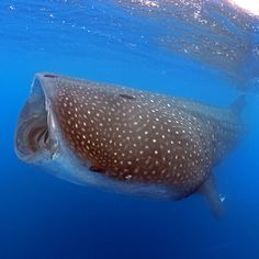 World's Largest Fish and One Tiny Island: Studying Whale Sharks on St. Helena Island