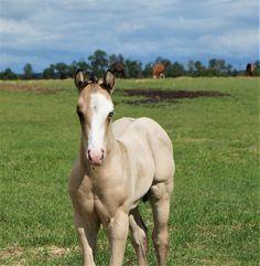 Absolootly Golden (pending), 2020 APHA Buckskin Stallion..