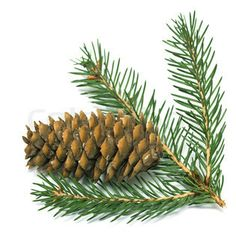 Image of 'large pine cone and spruce branches isolated on white ...