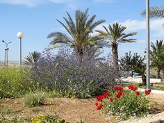 Maale Adumim, Israel - Public Landscaping, 03 neighborhood (מגדים), spring flowers, date palm trees (תמר)
